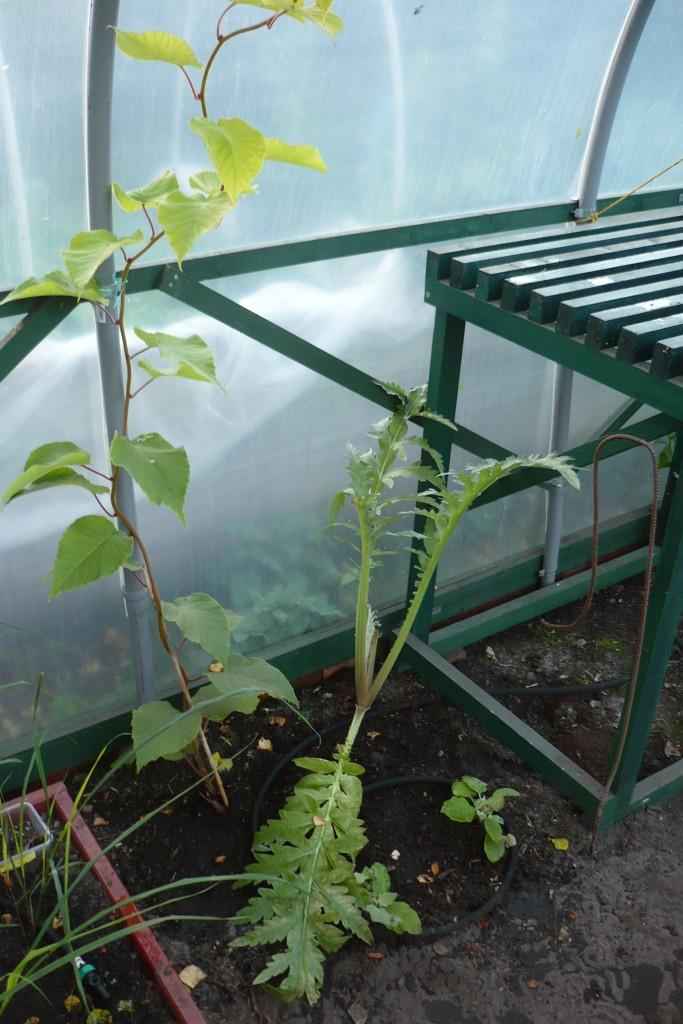 Polytunnel: Artischocke, Kiwi, Zitronengras und Auberginen (Oktober 2012)